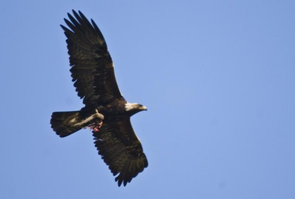 орел2